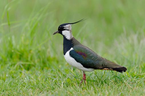 Les chasses traditionnelles d'oiseaux : c'est non !